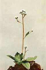 Micranthes virginiensis WFNY-087A.jpg