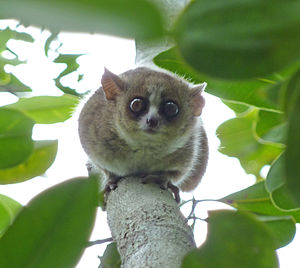 A mouse lemur perched vertically, up-side-down on a branch, looking down at camera.