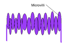 Diagram showing a microvilli structure
