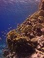 Millepora dichotoma, Egipto (2).jpg