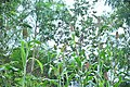 Millet In Kerala-2.jpg