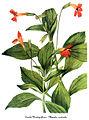 Mimulus cardinalis, by Mary Vaux Walcott.jpg