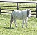 Miniature Horse3.jpg