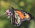 Monarch Butterfly (265940556).jpg