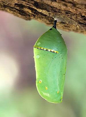 Monarch Butterfly Cocoon 6708.jpg