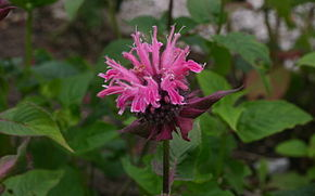Description de l'image  Image:Monarda-didyma-flowers.jpg .