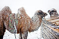Mongolia Camels.JPG