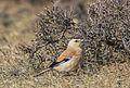 Mongolian Ground Jay (Podoces hendersoni) - Хулан жороо (16566349299).jpg