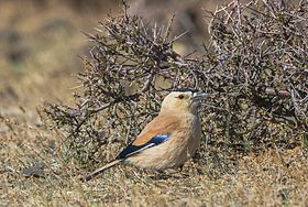 Mongolian Ground Jay (Podoces hendersoni) - Хулан жороо (16566349299).jpg