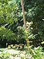 Monkey collecting coconut - vycvičená opice trhá kokosy - panoramio - Thajsko.jpg