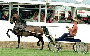 Pleasure driving - A Morgan horse in a Pleasure driving-style class.