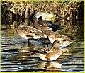 Morning Ducklings, Ford Park 1-12-14 (12226427945).jpg
