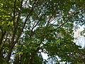 Morris Arboretum Acer pseudosieboldianum.JPG