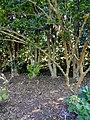 Morus alba - J. C. Raulston Arboretum - DSC06233.JPG