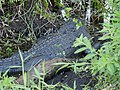 Mother alligator resting near her young in CREW Corkscrew Marsh in Florida (32656112545).jpg
