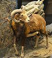Mouflon Ovis Mamalogie GLAM Musée d'histoire naturelle de Lille.jpg