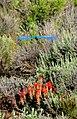 Mountain bluebird paintbrush and sagebrush on Seedskadee NWR (14828047790).jpg
