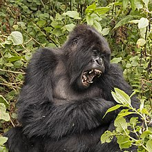 The endangered Mountain Gorilla, half of its population live in the DRC's Virunga National Park, making the park a critical habitat for these animals. Mountain gorilla (Gorilla beringei beringei) yawn.jpg