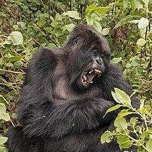 Gorila-das-montanhas (Gorilla beringei beringei) do grupo Titus, Parque Nacional dos Vulcões, Ruanda. (definição 3132×2856)