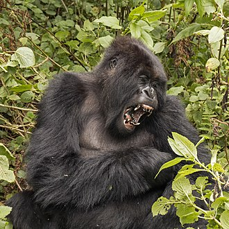 Mountain gorilla - Female, Titus Family, Rwanda