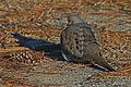 Mourning Dove - Zenaida macroura, Chincoteague National Wildlife Refuge, Chincoteague, Virginia.jpg