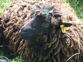 Mouton ouessant 101.JPG