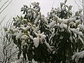 Muşmula ve kar ( r. nazilli ) - panoramio.jpg