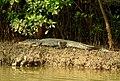 Mugger Crocodile Crocodylus palustris Zuari Goa by Dr. Raju Kasambe DSCN0812 (6).jpg