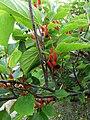 Mulberry IMG 0122.jpg