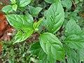 Munja leaf.JPG