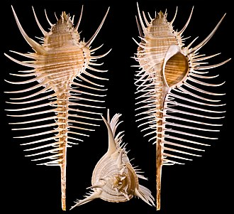 Lip (gastropod) - Image: Murex Pecten Global