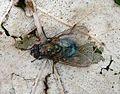 Muscidae. - Flickr - gailhampshire.jpg