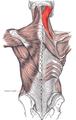 Musculus splenius capitis et cervicis marked.png
