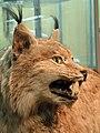 Muzeum Ewolucji PAN - rys (Lynx lynx).JPG