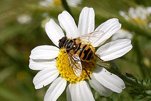 Myathropa.florea.on.daisy.jpg