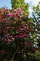 Myddelton House garden, Enfield, London ~ deep pink flowering rhododendron.jpg