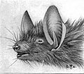 Myotis nigricans illustration.jpg