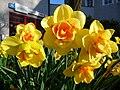 Nahaufnahme gefüllte Blüten Narzissen.JPG