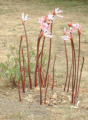 Amaryllis belladonna - A. belladonna in California