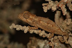 Description de l'image Namaqua Dwarf Chameleon.jpg.