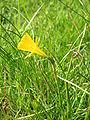 Narcissus bulbocodium close-up3.jpg