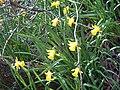 Narcissus muñozii-garmendiae 1.jpg