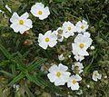 Narrow-leaved Cistus. Cistus monspeliensis - Flickr - gailhampshire.jpg