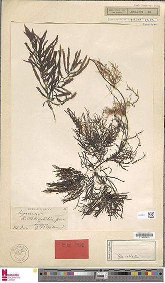 Sargassum - Sargassum hildebrandtii Grunow, herbarium type specimen, Somalia, before 1889