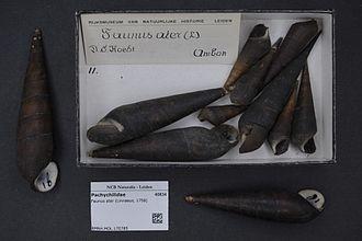 Faunus ater - Faunus ater (Linnaeus, 1758). Museum specimens.