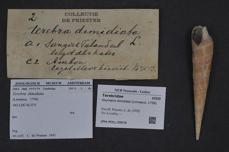 File:Naturalis Biodiversity Center - ZMA.MOLL.99978 - Oxymeris dimidiata (Linnaeus, 1758) - Terebridae - Mollusc shell.jpeg