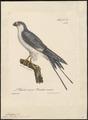 Nauclerus riocouri - 1825-1834 - Print - Iconographia Zoologica - Special Collections University of Amsterdam - UBA01 IZ18200352.tif