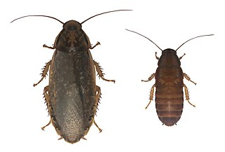 Speckled cockroach