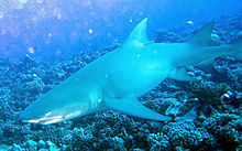 a large shark with sickle-shaped pectoral fins and two dorsal fins of nearly equal size, swimming just over a coral reef