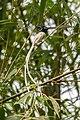Nepali Paradise Flycatcher(Terpsiphone paradisi) स्वर्गचरी.jpg
